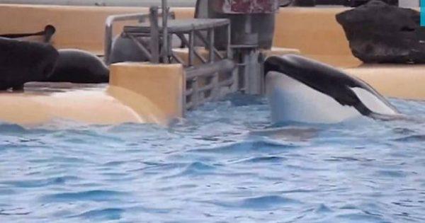 Συγκλονιστικό βίντεο φάλαινας που «αυτοκτονεί» λόγω αιχμαλωσίας