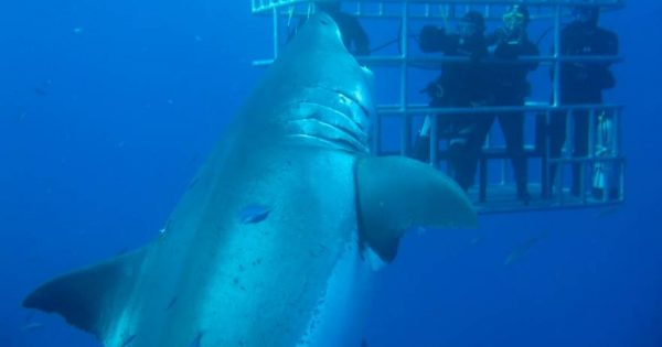 Μεξικό: Καρχαρίας «τέρας» επτά μέτρων εμφανίστηκε ξαφνικά μπροστά τους (βίντεο)