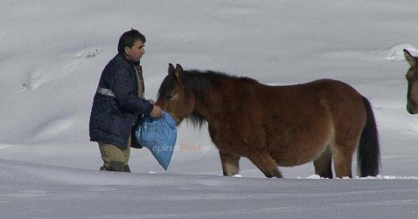 Η ΕΜΑΚ διέσωσε 20 άλογα από τα χιονισμένα βουνά της Πίνδου