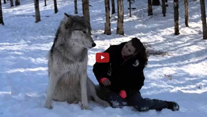 λύκος Βίντεο άνθρωπος