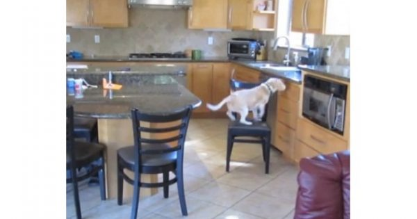 VIDEO: Απίστευτος σκύλος – Δείτε πώς έκλεψε το φαγητό από το φούρνο!!!
