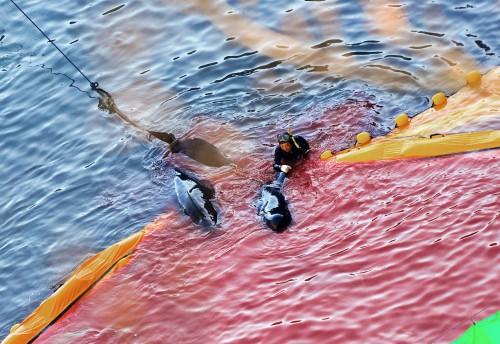 Δύτες δελφίνι Βίντεο
