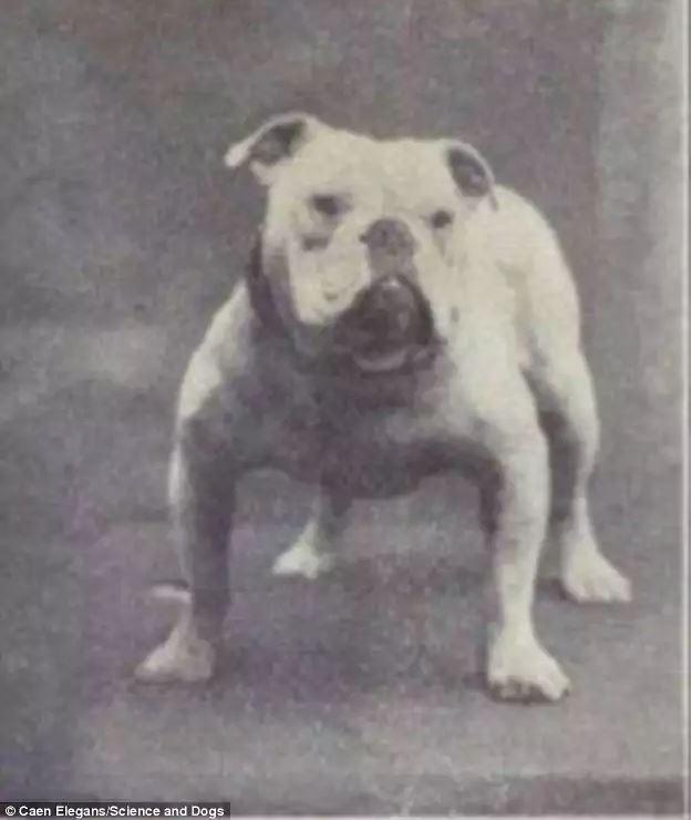 ράτσες σκύλων Μπουλντόγκ μπόξερ γερμανικός ποιμενικός Αγίου βερνάρδου pug Dachshund Bull Terrier Basset Hound
