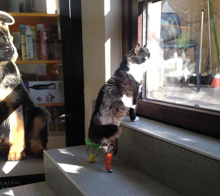 Γάτα Βίντεο ακρωτηριασμένη γάτα