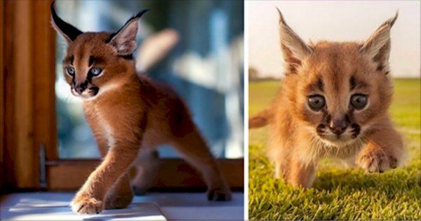 Αυτό είναι το ΠΙΟ χαριτωμένο είδος γάτας στον κόσμο. Μόλις την δείτε, θα σας κλέψει την καρδιά! Πως σας Φαίνεται;