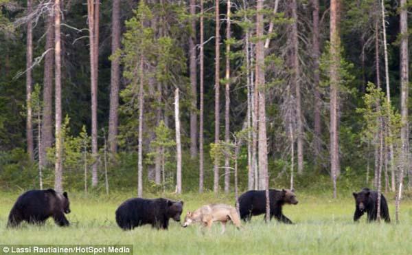 λύκοι αρκούδες