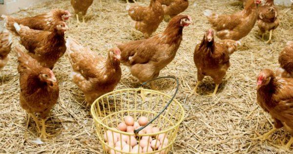 Η κότα έκανε το αυγό ή το αυγό την κότα; Πώς τεκμηριώνει ένας επιστήμονας την απάντηση και λύνει οριστικά το γρίφο