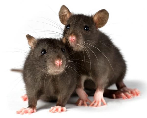 ποντίκι ζώα έξυπνα ζώα δελφίνι