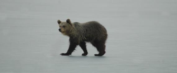 Αρκουδάκι έπαιζε επί ώρες πάνω στην παγωμένη λίμνη της Καστοριάς