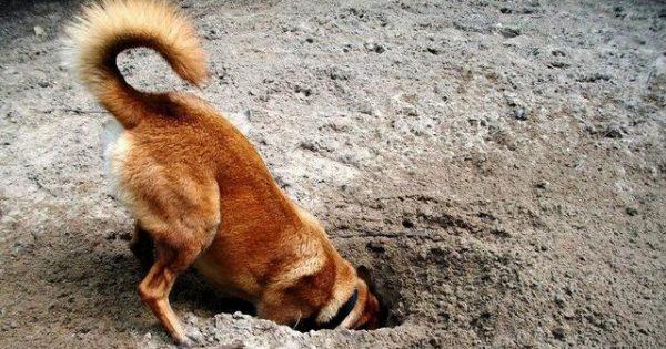 Γιατί ο σκύλος μου σκάβει τρύπες στον κήπο;