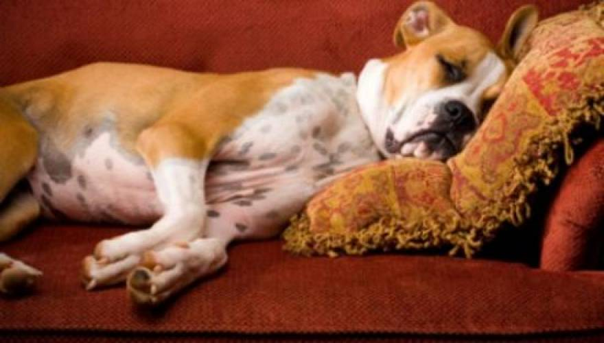 Σκύλος όνειρα