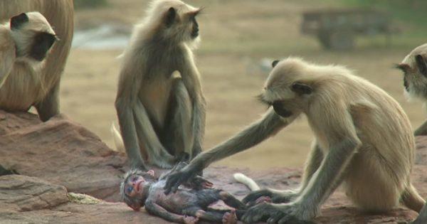Πίθηκοι «σκοτώνουν» κατά λάθος έναν ρομποτικό πίθηκο και τον θρηνούν!