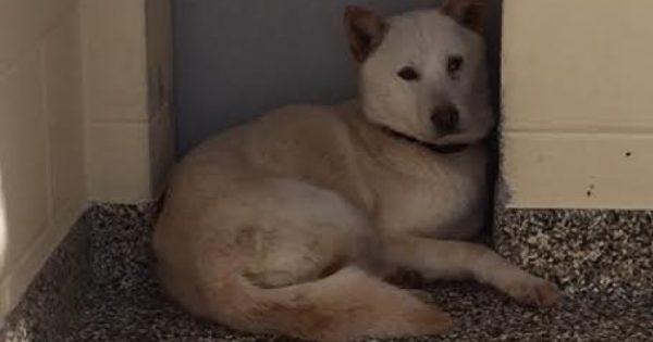 Έγκυος σκυλίτσα που διασώθηκε από σφαγείο ήταν τόσο τρομαγμένη που δεν άφηνε κανέναν να την αγγίξει
