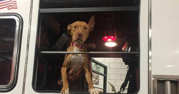 Υποσιτισμένη σκυλίτσα που εγκαταλείφθηκε από τους ιδιοκτήτες της γίνεται φίλη με μερικούς πυροσβέστες και κάνουν παρέα κάθε μέρα!