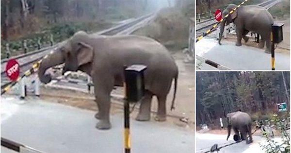 Ελέφαντας ανοίγει με την προβοσκίδα του μπάρα για να περάσει τις γραμμές του τρένου