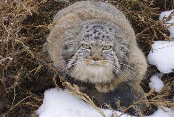 Μανούλ γατάκια αγρότης