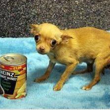 τσιουάουα σκυλάκια μικροσκοπικό τσιουάουα μικρά σκυλάκια