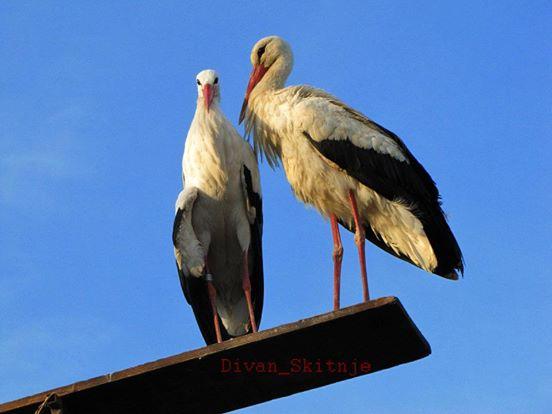 πτηνό πτηνά Πελαργός ταξιδεύει κάθε χρόνο εκατοντάδες μίλια για να δει τον τραυματισμένο έρωτα της ζωής του πελαργός