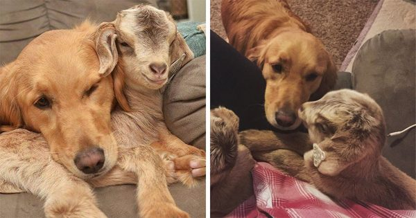 Σκύλος νομίζει ότι είναι η μαμά μικρών κατσικιών και δεν σταματάει να τα αγκαλιάζει