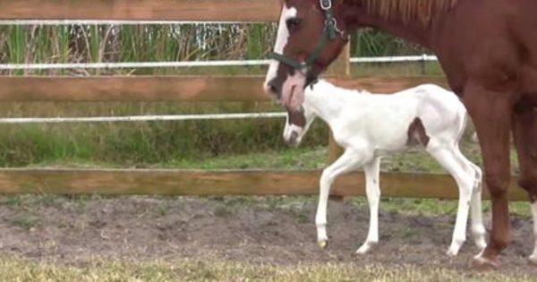 Αυτό το άλογο γέννησε μια πολύ σπάνια φοράδα. Δώστε προσοχή στο πρόσωπό της και θα καταλάβετε!
