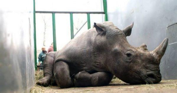 Μέχρι και οι ζωολογικοί κήποι αναγκάζονται να πάρουν μέτρα για την προστασία των ρινόκερων από τους λαθροκυνηγούς