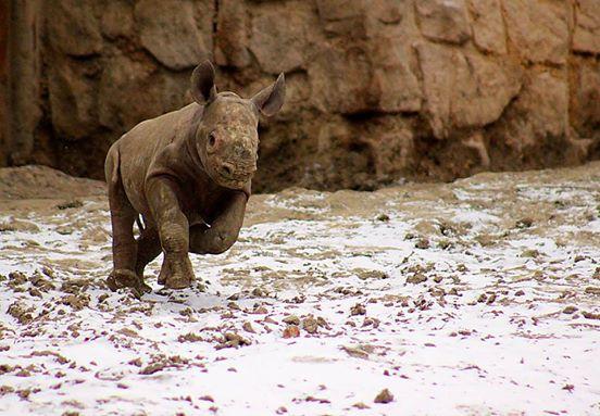 ρινόκερος ρινόκεροι Μέχρι και οι ζωολογικοί κήποι αναγκάζονται να πάρουν μέτρα για την προστασία των ρινόκερων από τους λαθροκυνηγούς