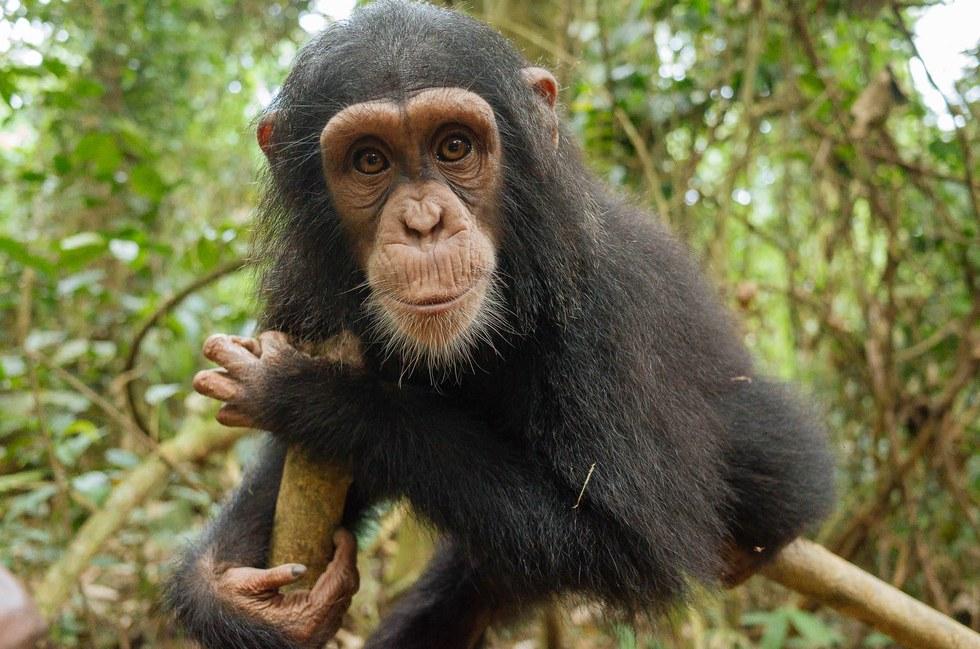 Χιμπαντζής Τρομαγμένος μικρός χιμπαντζής που σώθηκε από λαθρέμπορους βρίσκει μια νέα ζωή. μικρός χιμπαντζής