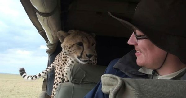 Όταν ένα άγριο τσιτάχ εισβάλει στο αυτοκίνητό σου… (Video)
