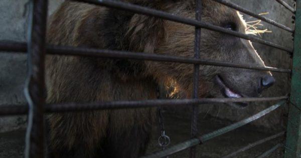 Υποσιτισμένη αρκούδα στην αλβανία βρίσκει μια νέα ζωή σε καταφύγιο αρκούδων στο Κόσοβο