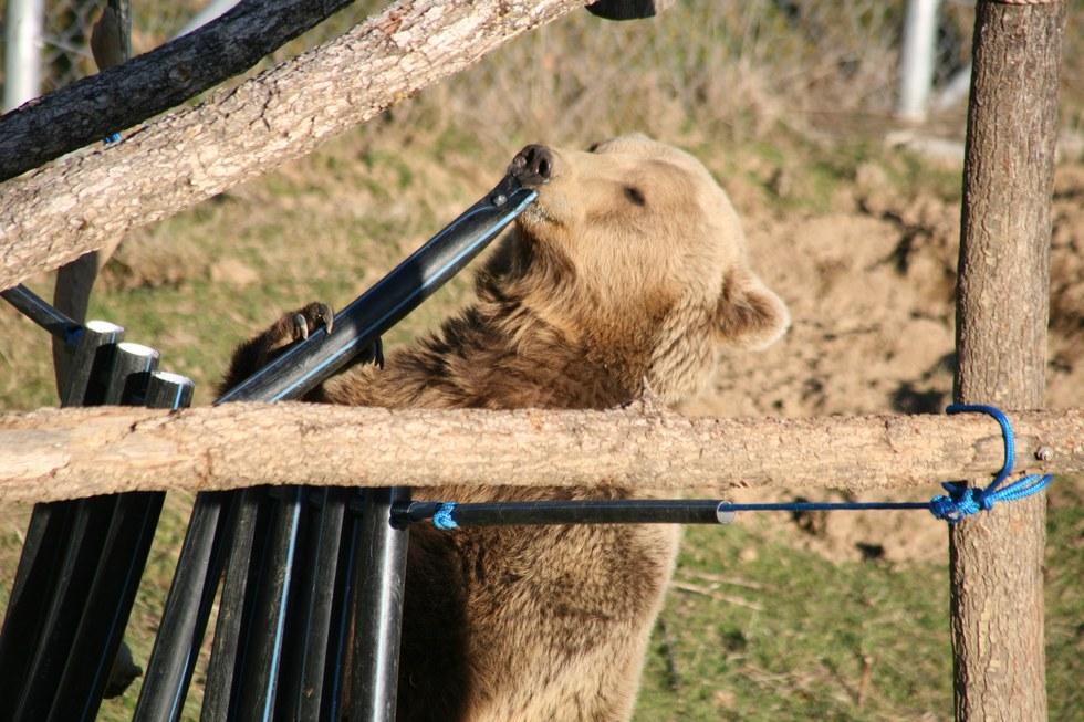 Υποσιτισμένη αρκούδα στην αλβανία βρίσκει μια νέα ζωή σε καταφύγιο αρκούδων στο Κόσοβο υποσιτισμένη αρκούδα αρκούδες αρκούδα