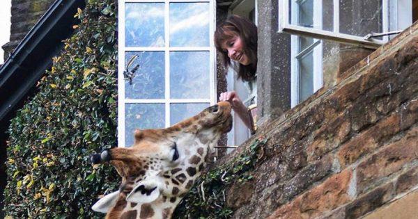 Καμηλοπάρδαλη τρώει από… το παράθυρο στην Κένυα (φωτό)