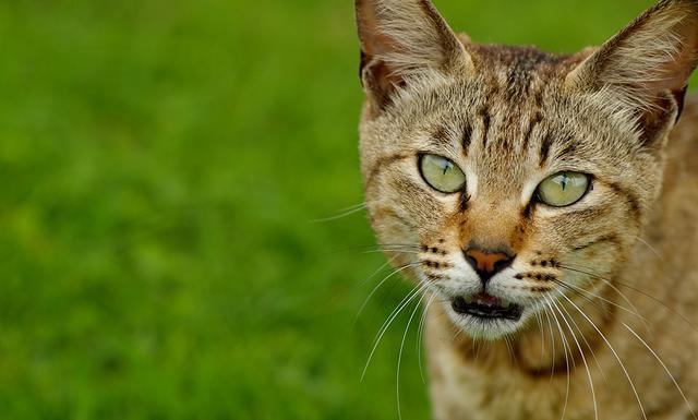 ψύλλοι θεραπεία Γάτα