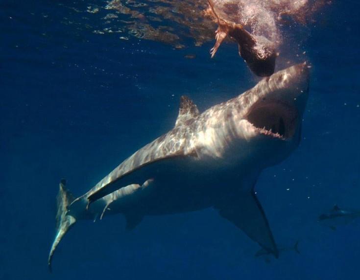 φωτογραφίες από καρχαρίες Σφυροκέφαλος καρχαρίας Σφυροκέφαλος μεγάλος λευκός λευκός καρχαρίας καρχαρίες καρχαρίας εικόνες από καρχαρίες απειλούμενα είδη