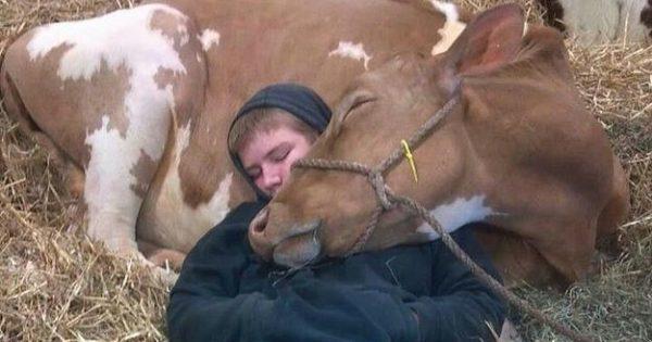 21 υπέροχες φωτογραφίες που αποδεικνύουν ότι οι αγελάδες είναι το ίδιο αξιολάτρευτες με τα σκυλιά!