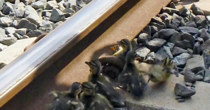 πάπιες Πάπια Παπάκια Άνδρας σώζει παπάκια που είχαν κολλήσει σε γραμμές τρένου λίγο πριν το τρένο περάσει
