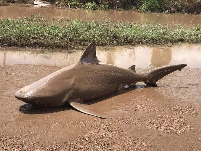ξέβρασε καρχαρία Κυκλώνας ξέβρασε καρχαρία σε δρόμο της Αυστραλίας 20 χιλιόμετρα από τη θάλασσα καρχαρίες καρχαρίας