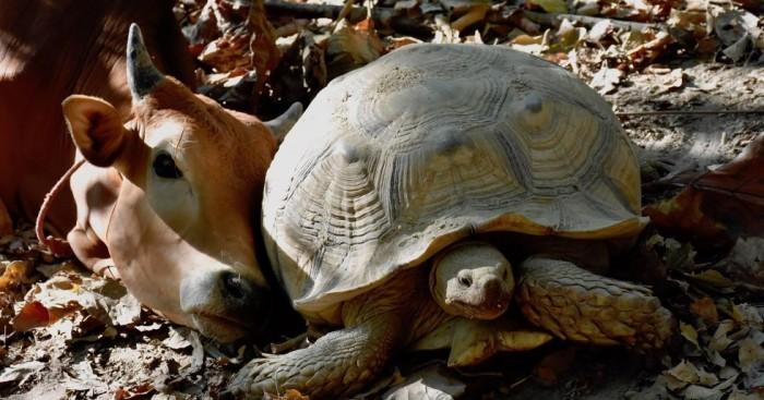 χελώνες χελώνα η αγελάδα είναι καλύτερη φίλη με μια χελώνα Αυτή η αγελάδα είναι καλύτερη φίλη με μια χελώνα από όταν ήταν μικρή αγελάδες αγελάδα