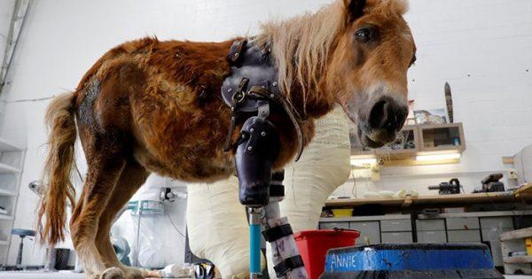 Πόνυ πατάει στα πόδια του για πρώτη φορά με προσθετικό μέλος μετά από ένα ατύχημα