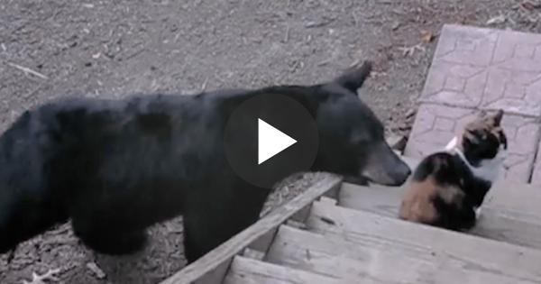 Άγρια αρκούδα πλησιάζει μία γάτα. Δείτε την αντίδραση της γάτας και θα σας πέσει το σαγόνι!