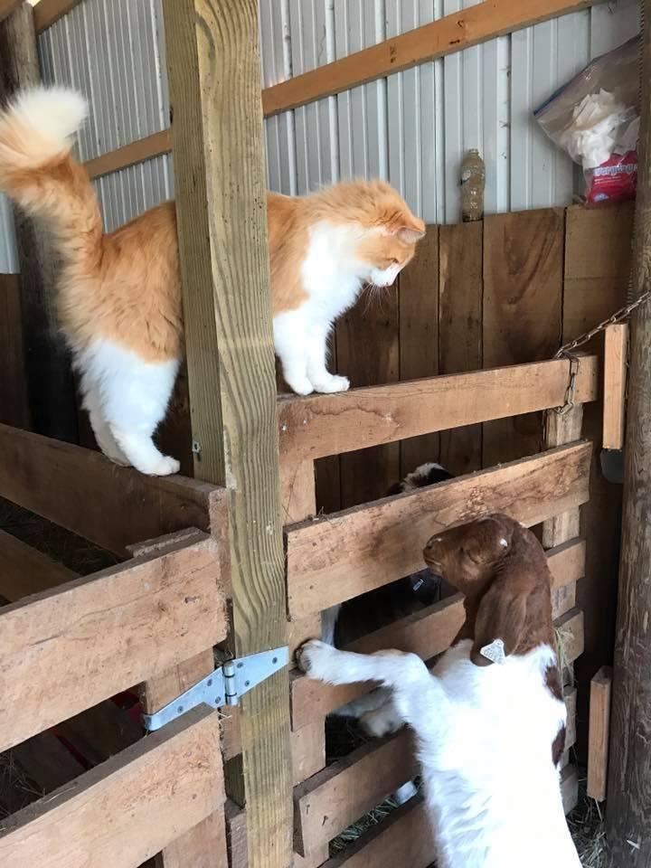 κατσίκες Γάτα