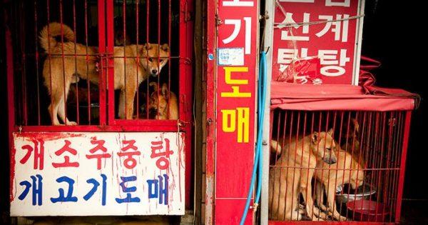 Τεράστια αγορά κρέατος σκύλων της Νότιας Κορέας που ευθύνεται για το 33% της παραγωγής της χώρας κλείνει επιτέλους!