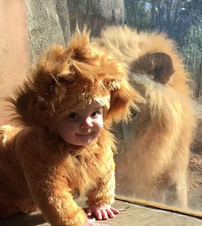 Μωρό ντυμένο με στολή λιονταριού πλησιάζει αληθινό λιοντάρι και αυτό κοιτάζει απορημένο μωρό ντυμένο με στολή λιονταριού