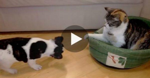 Ο σκύλος νύσταζε αλλά το κρεβάτι του ήταν κατειλημμένο. Όταν πήγε να ξαπλώσει; Προσέξτε την αντίδραση της γάτας!