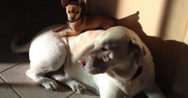H σκυλίτσα μιας οικογένειας αφήνει τα σκυλάκια που φιλοξενούν να κοιμούνται πάνω της!