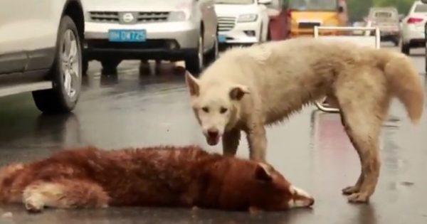 Η συγκινητική στιγμή που σκύλος προσπαθεί να ξυπνήσει το νεκρό φίλο του