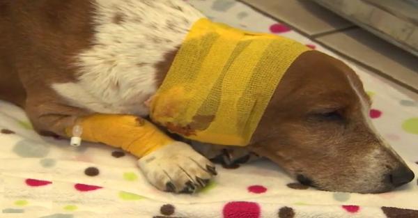 Ηρωικός σκύλος δέχεται «32 μαχαιριές» στην προσπάθεια του να σώσει την οικογένεια του από έναν βίαιο άντρα και σώζεται από θαύμα!