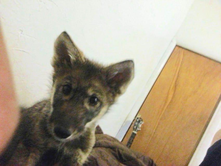 λύκος λυκάκι Αδέσποτα