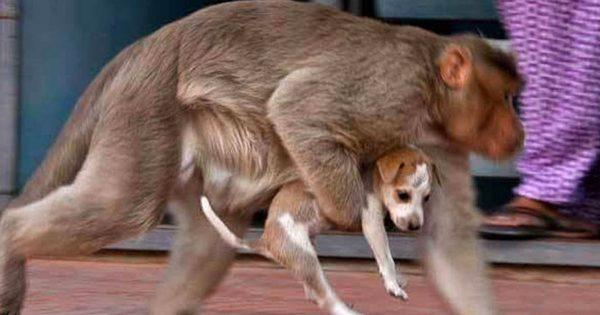 Πίθηκος βρίσκει εγκαταλελειμμένο κουτάβι στην ερημιά και το προστατεύει από τα άγρια ζώα σαν να είναι δικό του παιδί