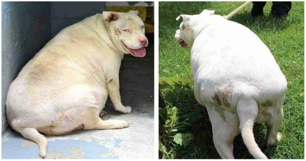 Παχύσαρκος σκύλος καταφυγίου μεταμορφώθηκε εντελώς μόλις του έδειξαν αγάπη