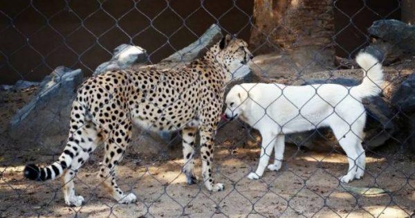 Γατόπαρδοι σε ζωολογικό κήπο κάνουν παρέα με σκύλους!
